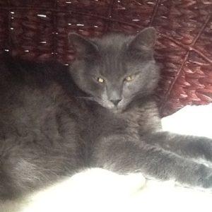 Juno Korat Cat