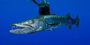Fish of the week BARRACUDA